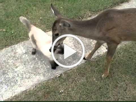 Deer loves cat