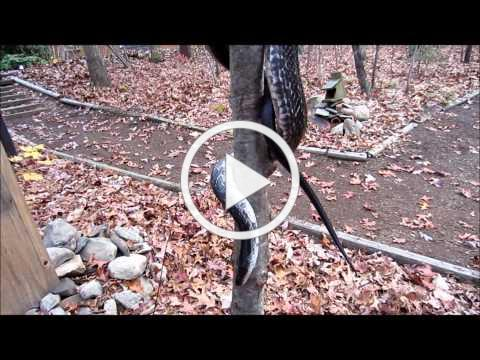 Severus the Snake Climbing!