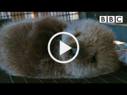 Welcome to the orphaned sea otter salon   Super Cute Animals - BBC