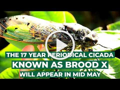 Did You Know | 2021 Brood X Facts