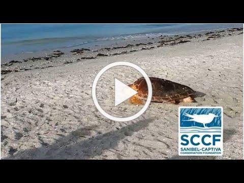 SCCF Sea Turtle Program