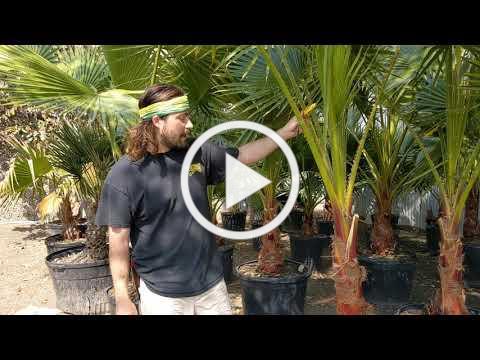 Tom's Thumb Nursery - Palm Tree Suggestions for Galveston, Texas