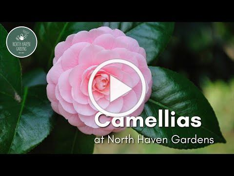 Caring for Camellias