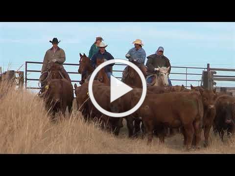 Superior Livestock Auction Happy Fourth!