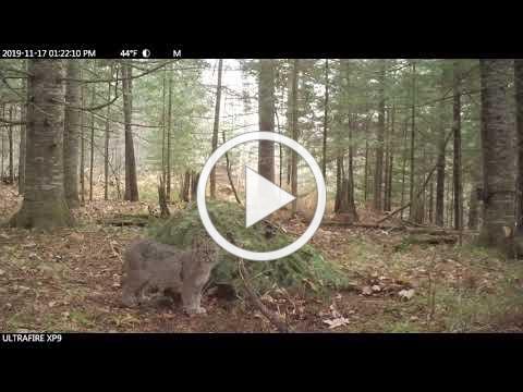 Bobcat kitten Gidagaa-bizhiw