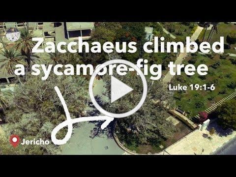 Zacchaeus Climbing a Sycamore-fig tree