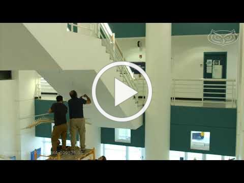 Time-lapse video of bottlenose dolphin skeleton completed by #FAU students