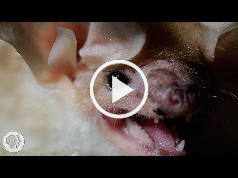 These Whispering, Walking Bats Are Onto Something | Deep Look