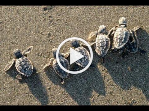 Sea Turtle Part 2 Hatching