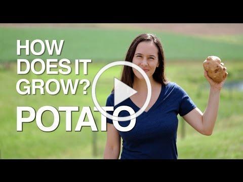 POTATO | How Does it Grow?