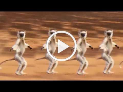MADAGASCAR DANCING VERREAUX';S SIFAKAS