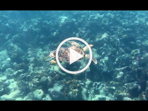 Juvenile Green Sea Turtle Encounter