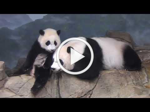#PandaStory: Xiao Qi Ji Greets His Fans