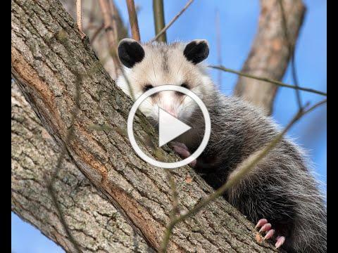 SC Wildlife - Opossums