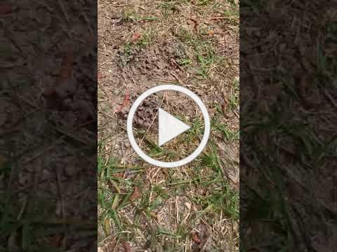 Example of Mole Cricket Holes