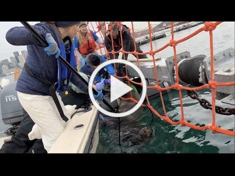 SEA LION IMPALED ON BOLT (Seattle, WA)