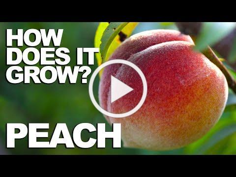 PEACH | How Does it Grow?