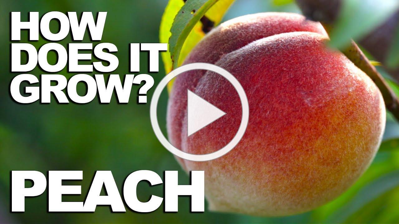 PEACH   How Does it Grow?