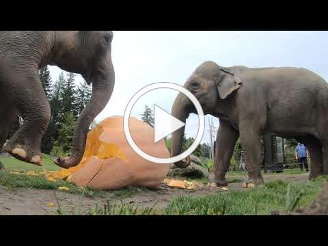 Elephant Smash Giant Pumpkins