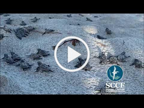 SCCF Loggerhead Nest Boil