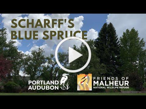 Tree Management & Scharff's Blue Spruce
