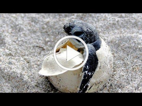 Things you should know about Sea Turtle Nesting
