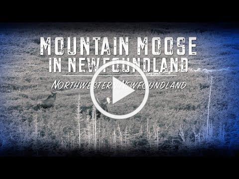 Mountain Moose in Newfoundland (Teaser)