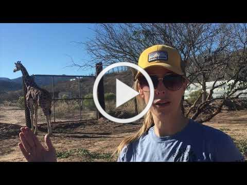 OUT OF AFRICA WELCOMES BABY GIRAFFES