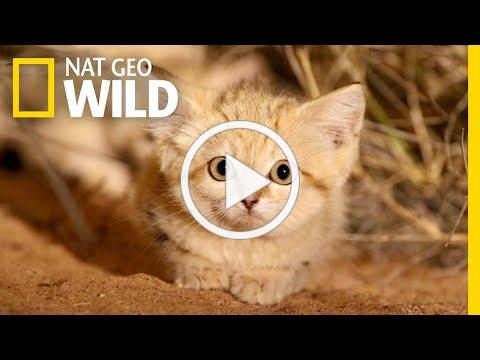 Sand Cat Kittens Filmed in the Wild for First Time | Nat Geo Wild