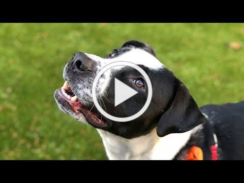 Adopt Lucas at Kitsap Humane Society