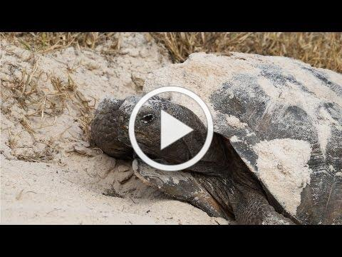 Help the FWC Protect Gopher Tortoises