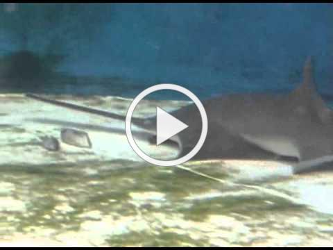The function of the sawfish's saw (Movie S1)