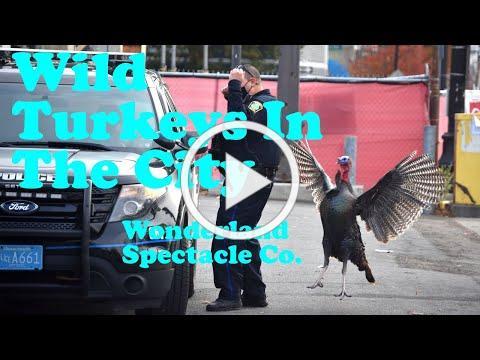 Wild Turkeys In The City   Wonderland Spectacle Co.
