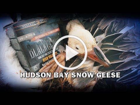 Hudson Bay Snow Geese (TEASER)
