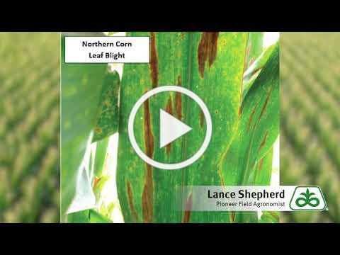 Corn Stalk Integrity