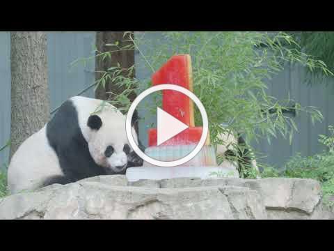 #PandaStory: Giant Panda Xiao Qi Ji Celebrates His First Birthday at Smithsonian's National Zoo