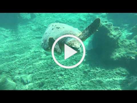 Loggerhead Encounter Looe Key Reef