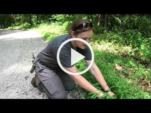 Invasive Plant ID - Japanese Stiltgrass