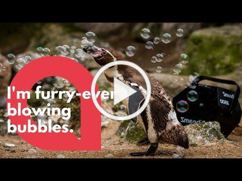Zoo penguins cheered up with a BUBBLE machine | SWNS