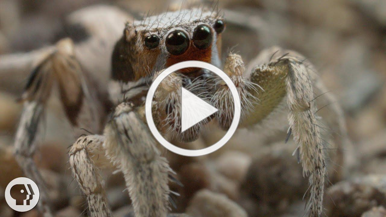 For These Tiny Spiders, It's Sing or Get Served | Deep Look
