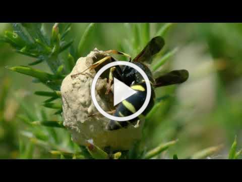 Wild Britain 2020 03 11 Potter Wasps