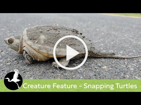 Creature Feature - Snapping Turtles