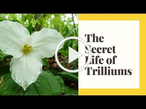 The Secret Life of Trilliums - At Home with Couchiching Conservancy