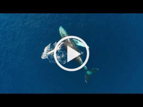 Humpback Whales in Hawaii 2017 Edition