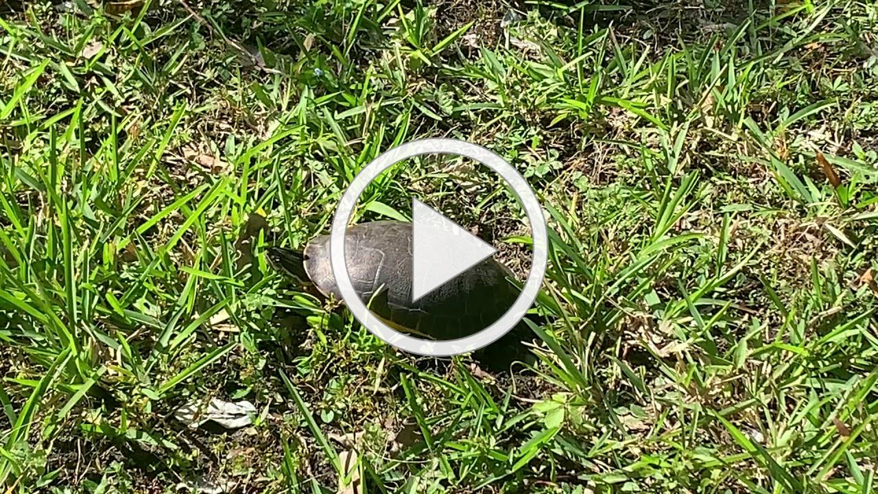 Chicken Turtle Nesting at SCCF
