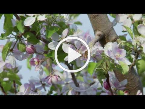 Wacky Apple Educational Video - How do Apples Grow?
