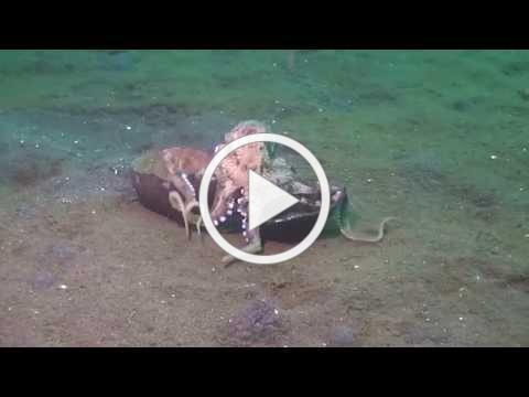 Poulpe coco en déplacement ;-) Poussin Diver